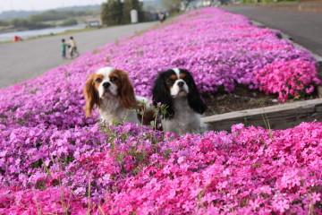 芝桜とチャコ&エリー