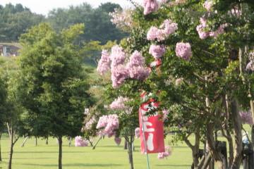 サルスベリのお花が綺麗に咲いていました