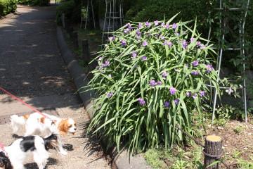 麻溝公園に可愛いお花が咲いていました