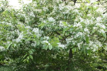 白い花が雪が積っている様に見える