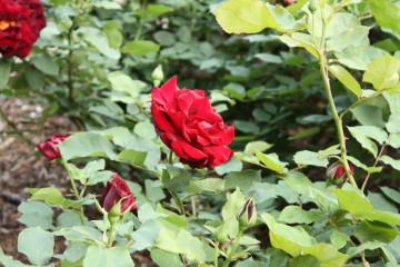 バラが綺麗に咲いていました