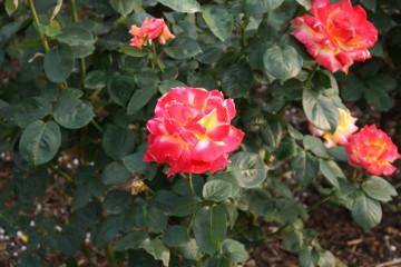 綺麗なバラが咲いていて良い香りがしました