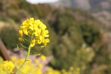 菜の花畑④