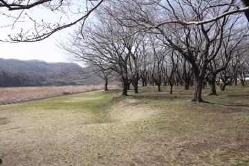 原っぱの桜の木