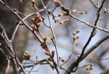 桜の蕾が膨らんできました