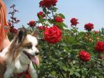 rose pee