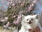 マリアと桜0408