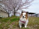 2012桜ぴー