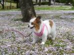 桜のじゅうたんぴー