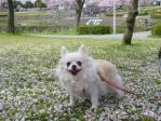 桜のじゅうたんまりあ