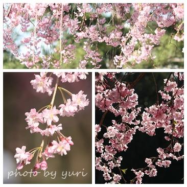 しだれ桜ページ
