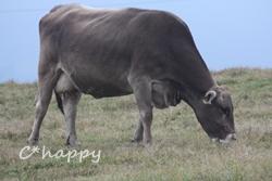 スイスブラウン牛