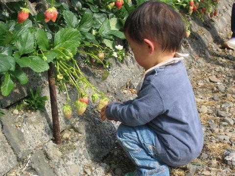 K君、苺を選び中