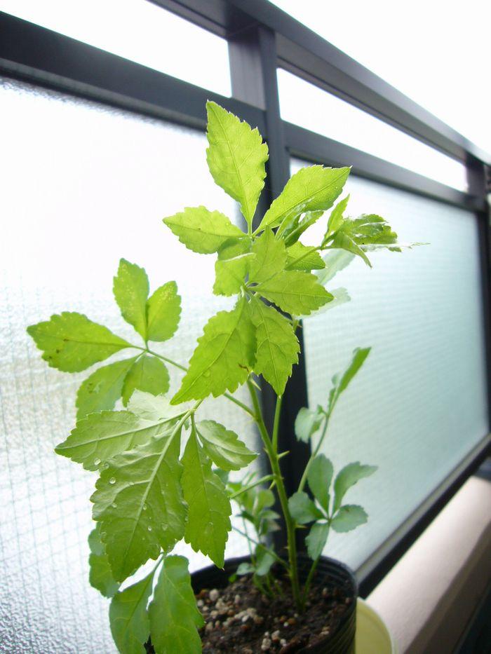 「うこぎ」の新芽 幹には立派なトゲも。