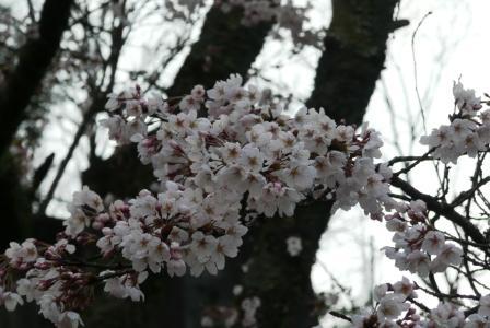 津風呂湖の桜