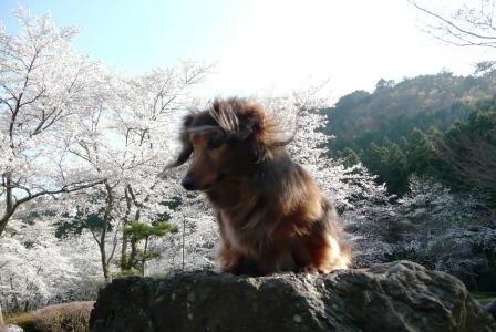 桜とゴンちゃびん