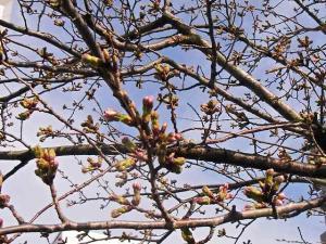 12-3-31-2 桜
