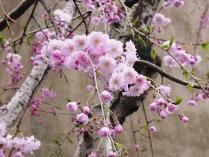 12-4-6 桜