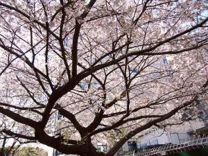 12-4-9 桜下から