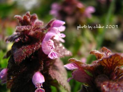 春の花 028n