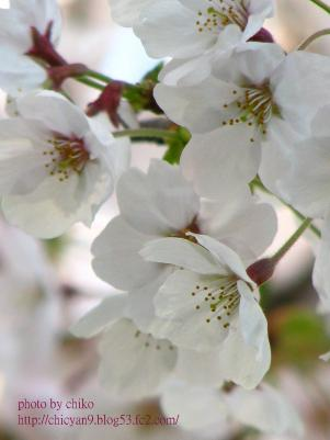 桜 051n