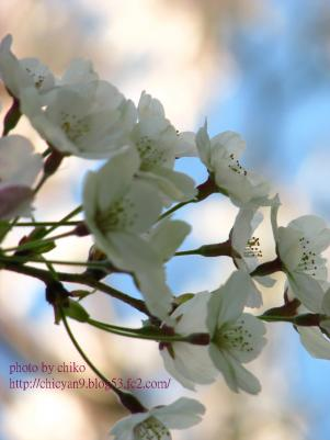 桜 111n