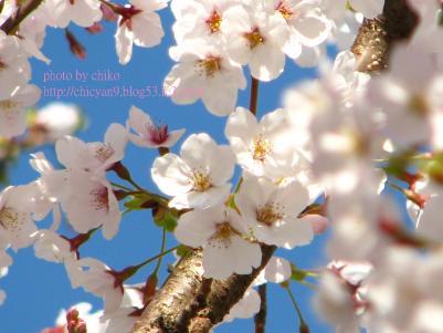 桜 045n