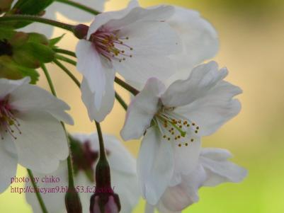 桜 099n