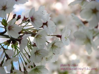 桜 117n