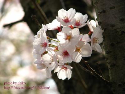 桜 331n