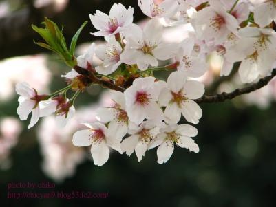 桜 338n