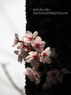 桜 323n