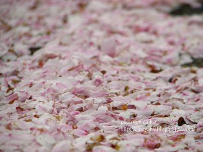 桜 444n