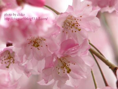 桜 392n