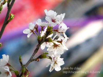 桜 161n