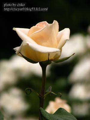 バラ 118n