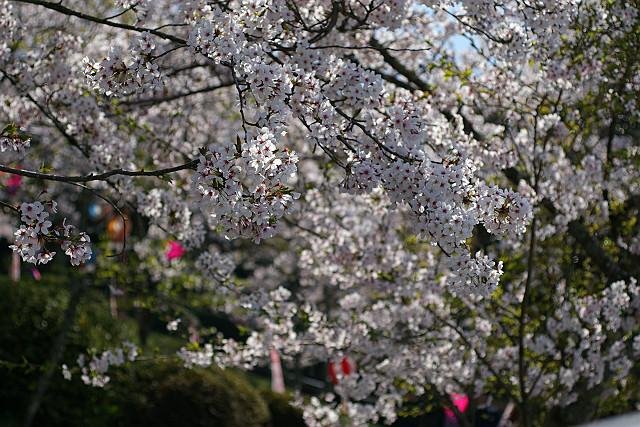 満開の桜祭り