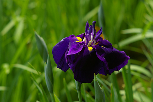 こってり紫