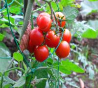 プチトマト撮影