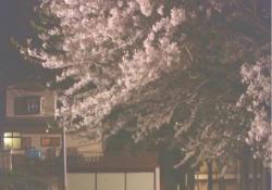 櫻華学園に咲いている夜桜