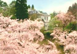 桜の向こうに見える、取り壊し予定の校舎