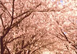 もうひとつの櫻の園