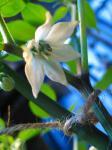 イエローコンチャの花