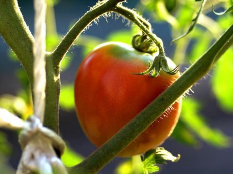 tomato0805.jpg