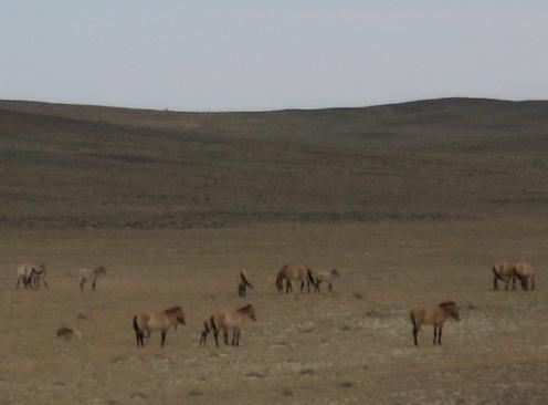 ジュンガル盆地 野生の馬