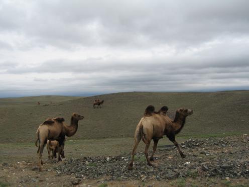 ジュンガル盆地駱駝