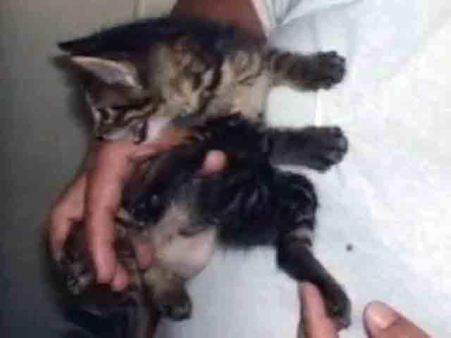 6本足の猫