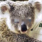 青い目のコアラ