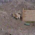 交尾中の犬が困り果てる
