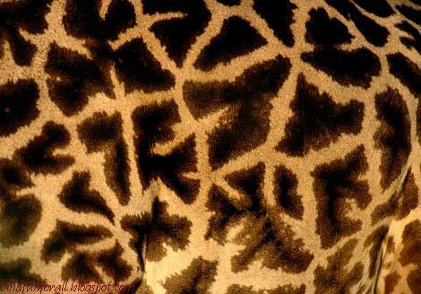 giraffe-spots-479042-ga.jpg